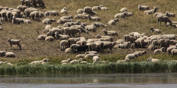 Sheep grazing at Crane Park Pond