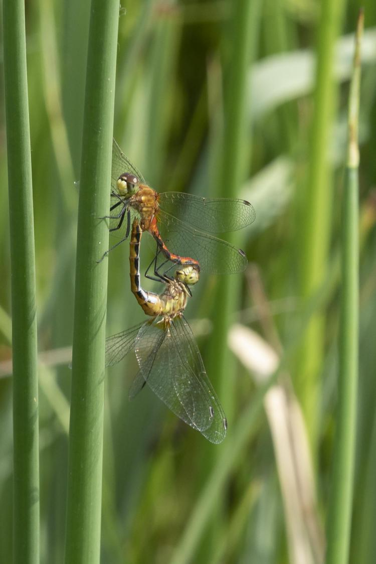Male whitefaced meadowhawk