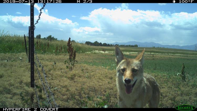 Coyote camera trap in Broomfield, CO