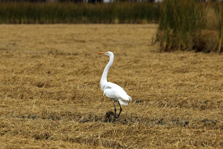 Great Egret taken at Yolo Bypass