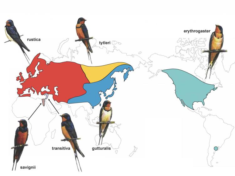 Map of the different barn swallow species