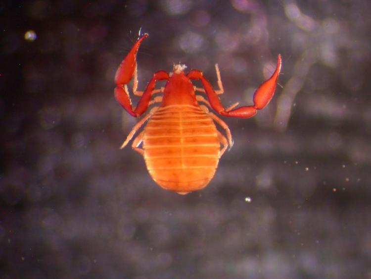 thumbnail_#3 New Species of Pseudoscorpion from near the Boulder Flatirons, not yet named by Dave S