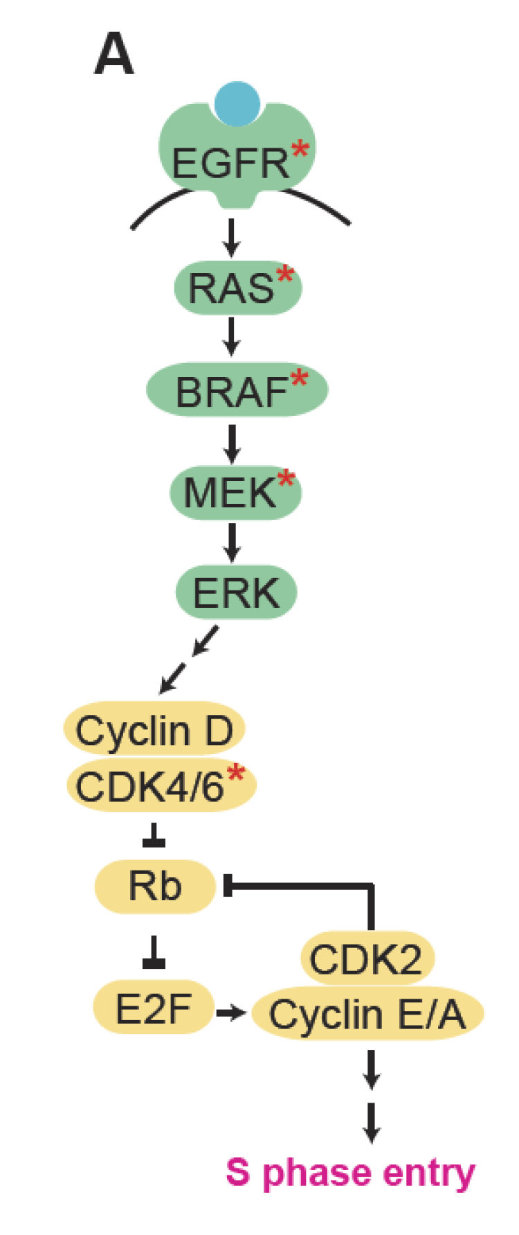 Schematic of MAPK signaling (green) driving cell-cycle entry (yellow). Red stars mark targets to be drugged in the proposed work.