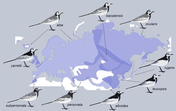 Map of White Wagtail distribution