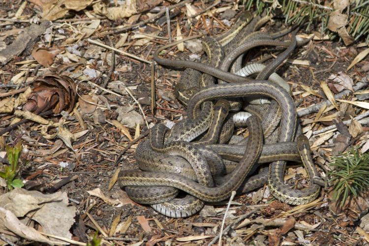 Mating ball of garter snakes caught on campus | Colorado