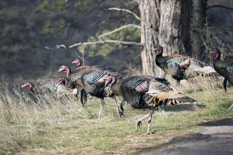 Native Americans Domesticated Turkeys Colorado Arts And Sciences Magazine University Of Colorado Boulder