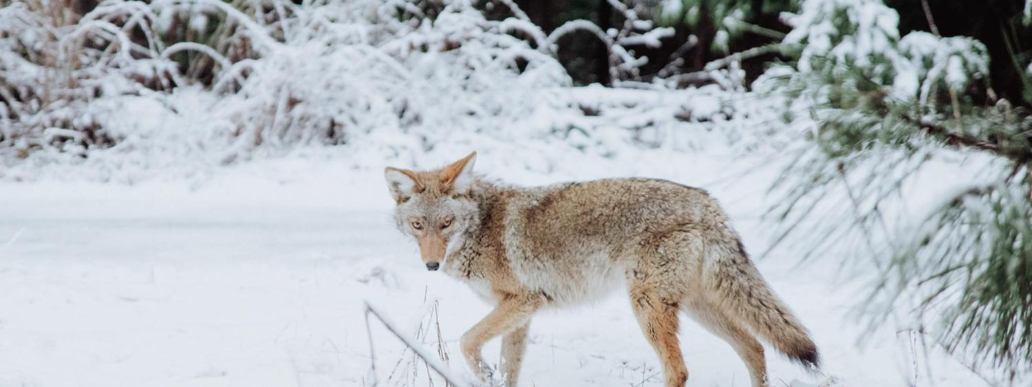 Coyote walking in the snow