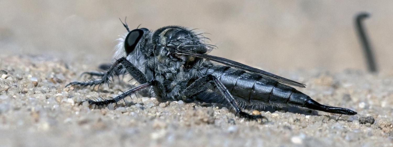 Robberfly Sharp
