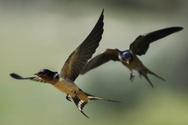 Colorado barn swallow pair in flight. Photo by Matthew R Wilkins.