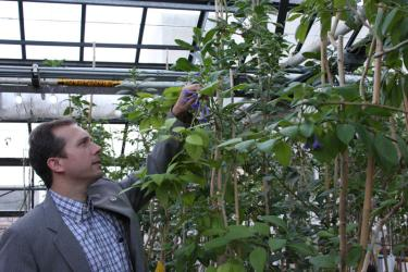 Nolan Kane examines a plant in the tomato family, primarily researched by Stacey Smith, in the Ramaley Biology building rooftop greenhouse. Photo by Laura Kriho.