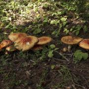a strand of mushrooms showing the variability in the field Amanita muscaria young & old shows more variability