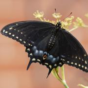 Black swallowtails