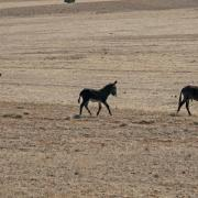 Two adult males and a juvenile burro in the Sinbad Herd on the San Rafael Swell