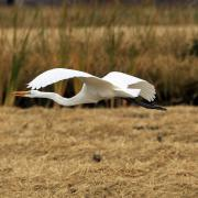 A great egret in flight