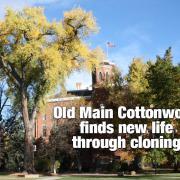 Old Main cottonwood