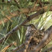 Hummingbird chin view