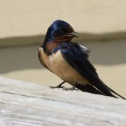 Photograph of a barn swallow