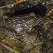 Brown Leopard frog