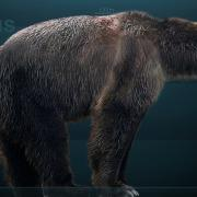 Restoration of the extinct short-faced bear (Arctodus simus). Photo courtesy of Wikipedia.