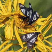 Police car moth on sneezeweed