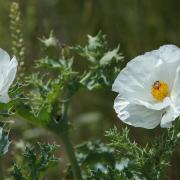 Prickly Poppy Paid