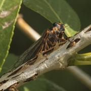 Putnam Cicadas