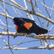 red wing bird