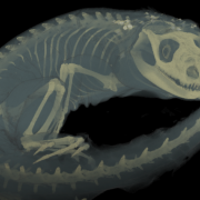 Computerized tomography (CT) scan of a Mexican spiny-tailed iguana. (Credit: UCM 11735 Ctenosaura pectinata)