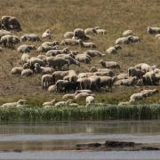 Sheep grazing at Crane Park Pond