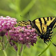 a photo of the same flower and swallowtail, but showing the ventral side