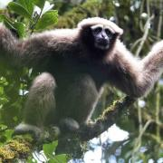 An Eastern hoolock gibbon (Hoolock leuconedys) - an endangered ape species found in Asia. Photo courtesy of Fan Pen Fei, Professor, Sun Yat-Sen University