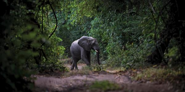 Elephant walking on a path surrounded by trees