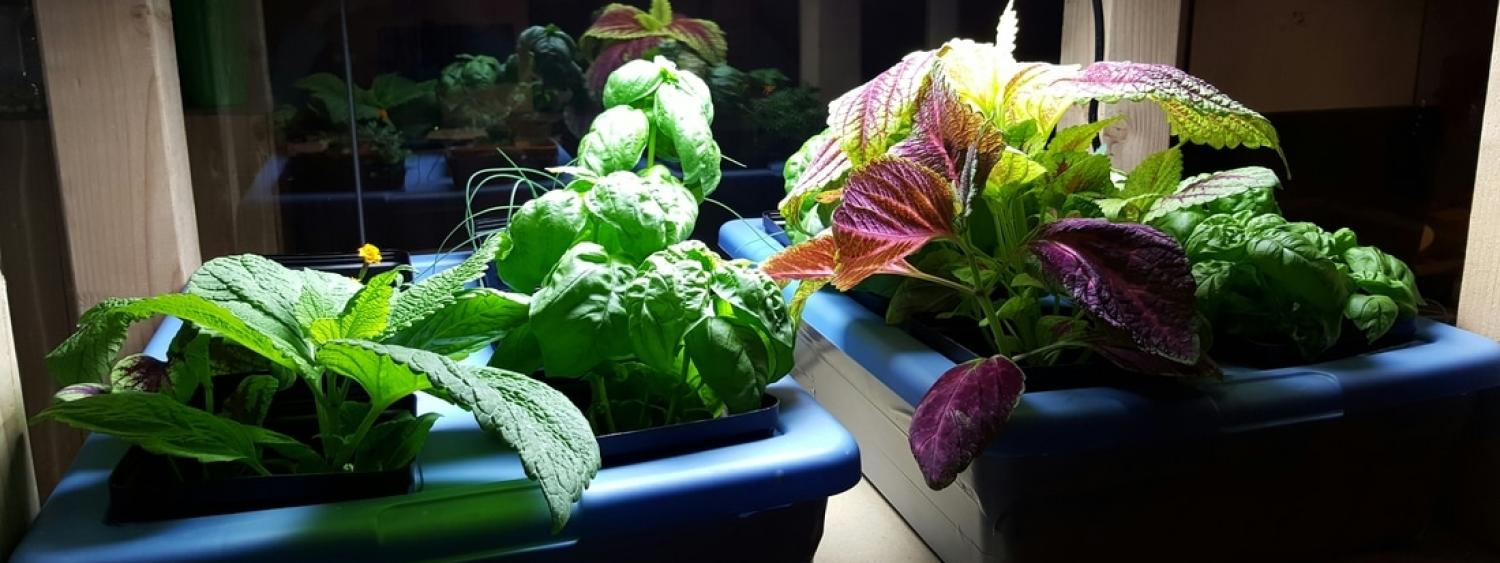 Plants being grown in the luminous science project.