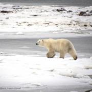 Photo of a Polar bear walking across ice taken by McFerrin
