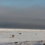 polar bears in Arctic