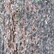 Pine beetle tree damage