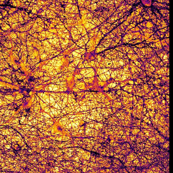 Our brains are a complex interwoven network of neurons and other cell types that work together to transmit information through neurotransmitters such as glutamate and zinc. The network shown here has been labeled with a membrane-bound dye that allows us to observe zinc release upon neuronal activation. The resulting image has been pseudocolored based on fluorescence intensity.
