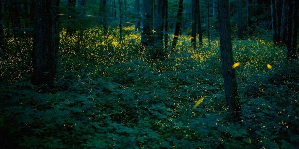 Synchronous firefly photo from Great Smoky Mountains National Park