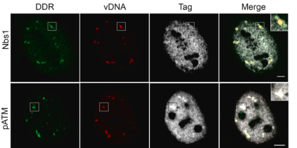 Cellular DNA damage repair proteins localize to viral replication centers.