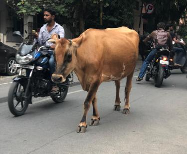 Cow in traffic