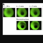 Figure 3. (A) Circular hydrogels were bleached near their center with a nearly circular bleach spot.
