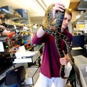 Ryan Doptis handles one of the pythons in Leslie Leinwand's lab. Doptis, an MCD Biology major, graduated in December. (Image: Cliff Grassmick)