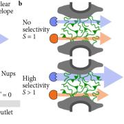 Schematics of the nuclear pore complex and model