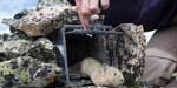 Photo of pika being released from a trap