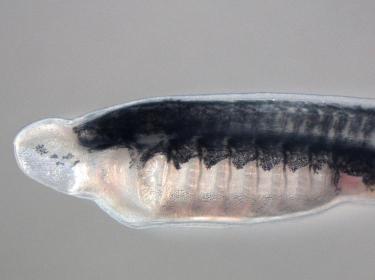 Lamprey larva