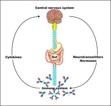 Diagram of the links between the central nervous system, gut, and immune system