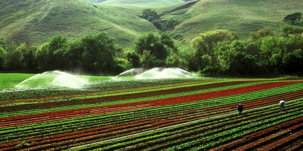 a farm field being irrigated and picked by farmers