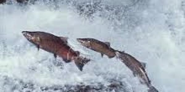 3 fish jumping out of the water in a rushing river