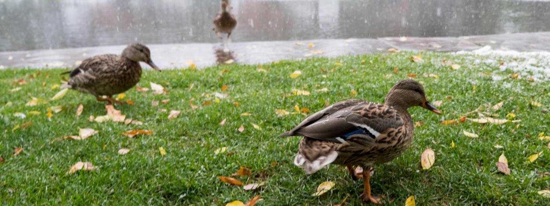 ducks near to McKenna building