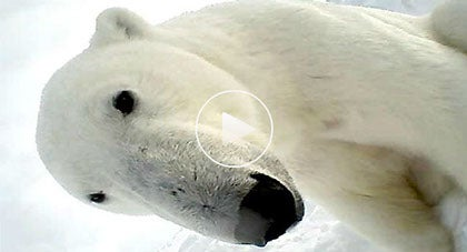 The First Look at Arctic Life on Ice Through the Eyes of a Polar Bear